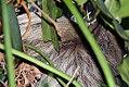 Choloepus didactylus 2zz.jpg