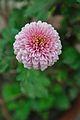 Chrysanthemum - Science City - Kolkata 2012-01-11 8035.JPG