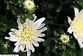 Chrysanthemum Tiffany 1zz.jpg