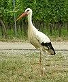 Ciconia ciconia -Alsace -France -8h.jpg