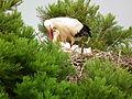 Ciconia ciconia bei der Fütterung Mai 2014.JPG