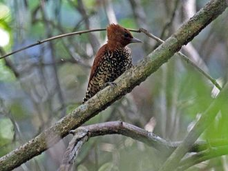 Cinnamon woodpecker - In Panama