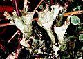 Cladonia grayi-1.jpg