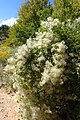 Clematis ligusticifolia var. ligusticifolia kz02.jpg