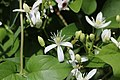 Clematis terniflora (flower s5).jpg