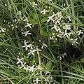 Clematis terniflora s3.jpg