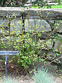 Clematis texensis Duchess of Albany2.jpg