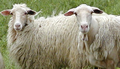 Close up of Italian sheep.png