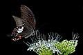 Close wing nectering of Papilio polytes Linnaeus, 1758 – Common Mormon (Female) WLB DSC 4497.jpg