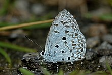 Close wing position of Acytolepis puspa Horsfield, 1828 – Common Hedge Blue WLB DSC 4166.jpg