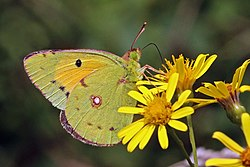 Clouded yellow (Colias croceus) male underside 2.jpg