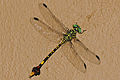 Clubbed Hooktail (Paragomphus fritillarius) (17065703837).jpg
