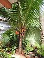 Cocos nucifera-2-jaffna-Sri Lanka.jpg