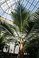 Cocos nucifera 39zz.jpg