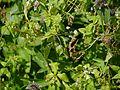Codonopsis rotundifolia (7821768160).jpg