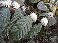 Coffea canephora 4.JPG