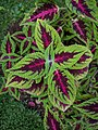 Coleus plant top view.gk.jpg