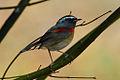 Collared Bush Robin.jpg