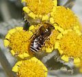 Colletes sp. possibly C. daviesanus - Flickr - gailhampshire.jpg