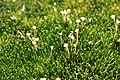Colobanthus quitensis (H.B.K.) Bart (Caryophyllaceae) (39733512800).jpg