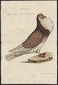 Columba domestica var. gutturosa - 1770-1829 - Print - Iconographia Zoologica - Special Collections University of Amsterdam - UBA01 IZ18900153.tif