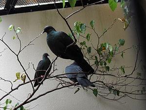 Japanese wood pigeon - Image: Columba janthina
