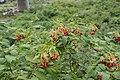 Combretum indicum 0829.jpg