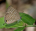 Common Cerulean (Jamides celeno) in Talakona forest, AP W IMG 8499.jpg