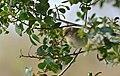 Common Chiffchaff (Phylloscopus collybita)(Thanks to Ph. GENIEZ for the ID) (25463837333).jpg