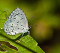 Common Hedge blue.jpg