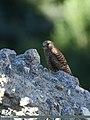 Common Kestrel (Falco tinnunculus) (31477512424).jpg