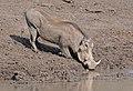 Common Warthog (Phacochoerus africanus) drinking ... (32323988664).jpg