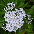 Common Yarrow (Achillea millefolium) - Cape St. Mary's Ecological Reserve, Newfoundland 2019-08-10.jpg
