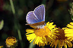 Common blue butterfly (Polyommatus icarus) male 2.jpg
