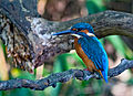 Common kingfisher, October 2015, Osaka IX - sRGB.jpg