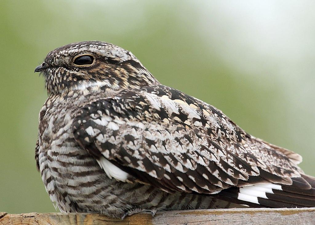 Common nighthawk myatt odfw (7591220880)