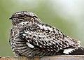 Common nighthawk myatt odfw (7591220880).jpg
