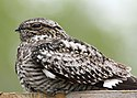 Common nighthawk myatt odfw (7591220880).jpg