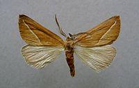 Compsoptera opacaria.jpg
