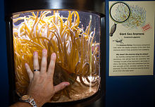 A human hand in front of an aquarium of cylindrical shape; approximately one hundred yellow tentacles strive from the bottom of the aquarium towards the light from a lamp above, in a disorderly pattern. The longest tentacles are over twice as long as the male adult hand.