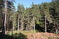 Conifers - geograph.org.uk - 420991.jpg
