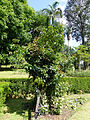 Connarus monocarpus-Jardin botanique de Kandy (2).jpg