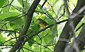 Connecticut Warbler (13984983760).jpg