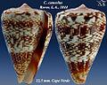 Conus cuneolus 3.jpg