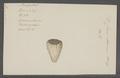 Conus eburneus - - Print - Iconographia Zoologica - Special Collections University of Amsterdam - UBAINV0274 086 02 0018.tif