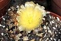 Copiapoa humilis tenuissima pm1.JPG