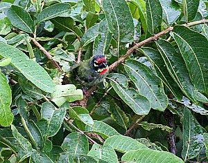 Coppersmith barbet - Image: Coppersmith Barbet Bathing in the rain I IMG 4465