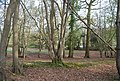 Coppiced tree by the bridleway - geograph.org.uk - 1253497.jpg