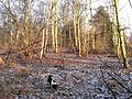 Coppiced woodland - geograph.org.uk - 1724641.jpg