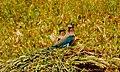 Coracias benghalensis, Khushab District, PK - LogoLicious 20180208 204156~5.jpg